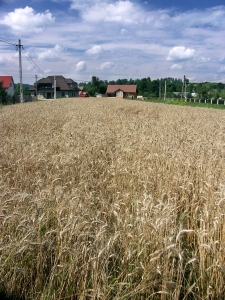 Countryside landscape with cornfield 0813_06